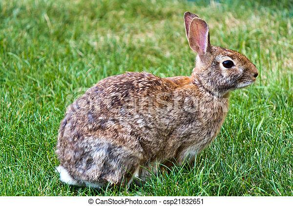 Rabbit in the yard - csp21832651