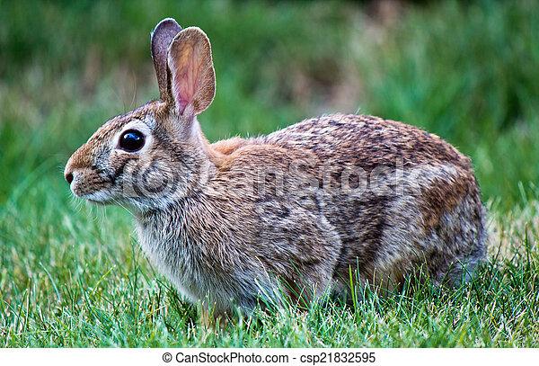Rabbit in the yard - csp21832595