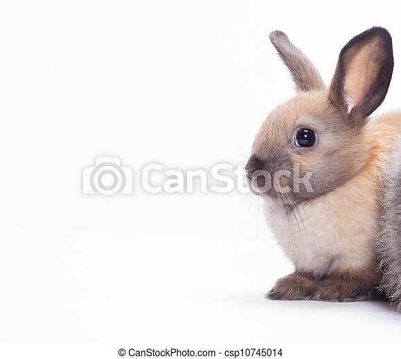 Rabbit isolated on a white background - csp10745014