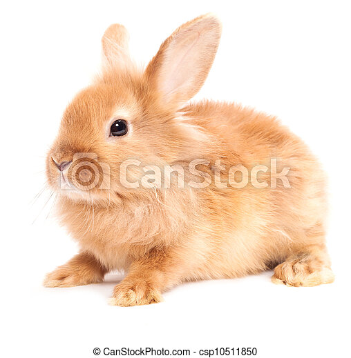 Rabbit isolated on a white background - csp10511850