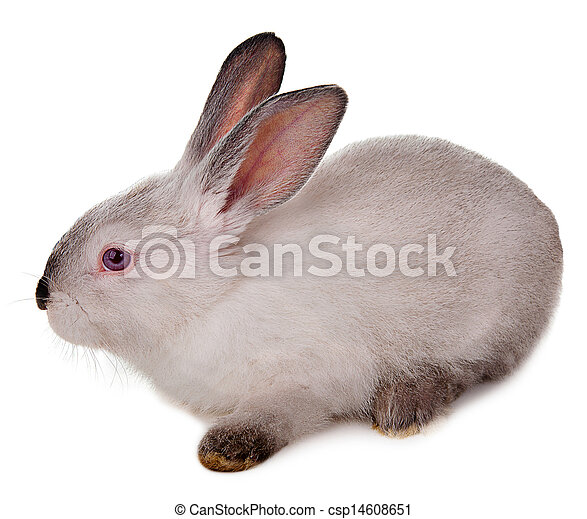 Rabbit isolated on a white background. - csp14608651