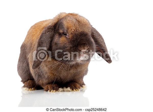 rabbit isolated on a white background - csp25248642
