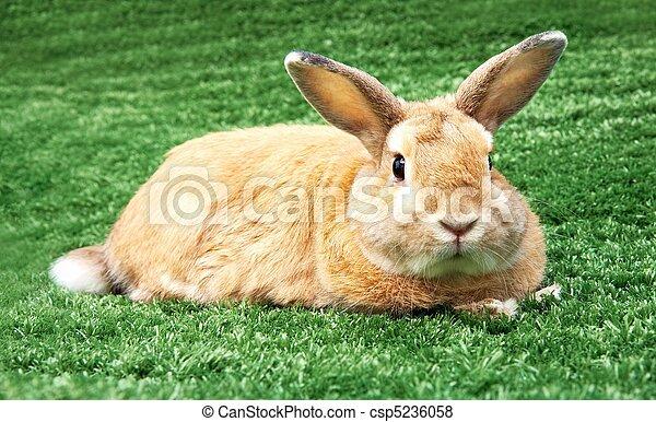 Rabbit on grass - csp5236058