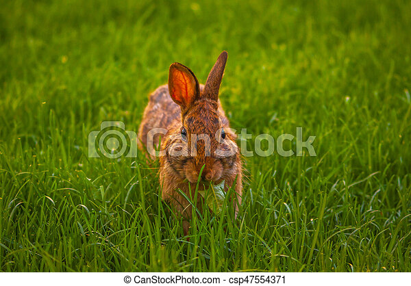 Rabbit relaxing in the grass - csp47554371