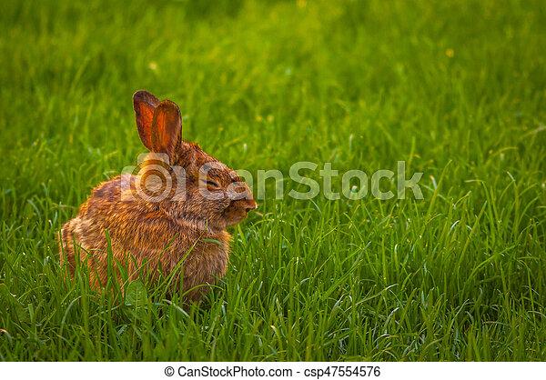 Rabbit relaxing in the grass - csp47554576