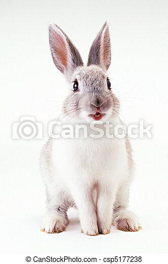 Conejo. - csp5177238