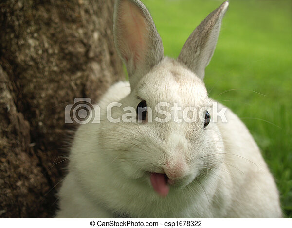 Rabbit Sticking out his Tongue - csp1678322