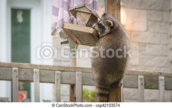 Raccoon, on a bird feeder in Eastern Ontario. - csp42103574