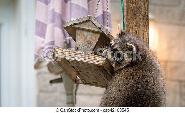 Raccoon, on a bird feeder in Eastern Ontario. - csp42103545