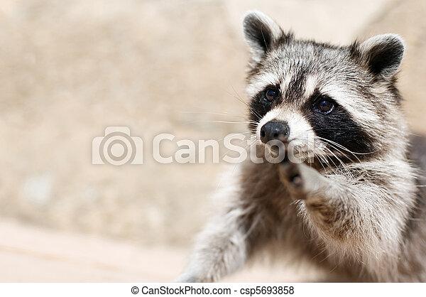 raccoon - csp5693858