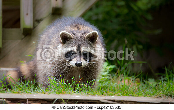 Raccoon (Procyon lotor) looking for food on a front lawn. - csp42103535