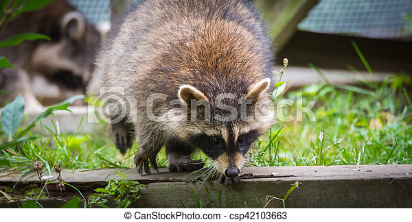 Raccoons (Procyon lotor(s) in the woods at a feeder. Smart young animals playfully and shyly make an appearance from the woods. - csp42103663
