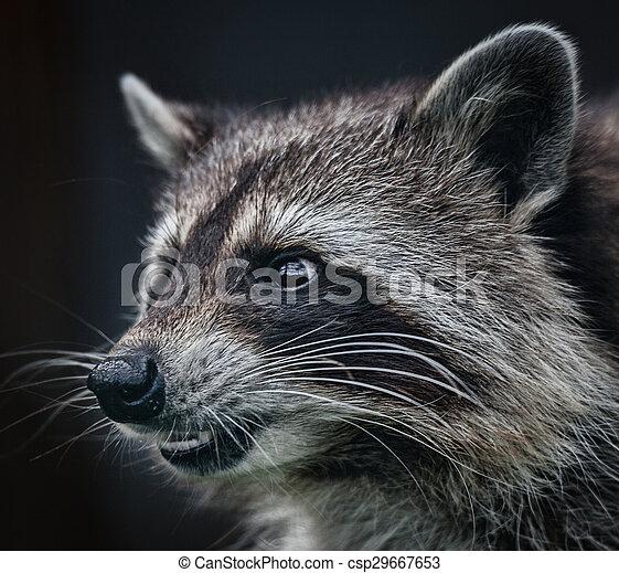racoon head shot close up