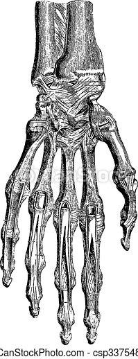 Radiocarpal joint, carpal bones them, carpometacarpal and hand ( - csp33754862