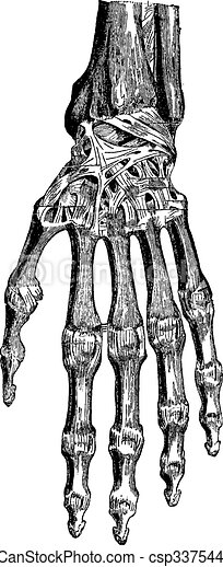 Radiocarpal joint, carpal bones them, carpometacarpal and hand ( - csp33754473