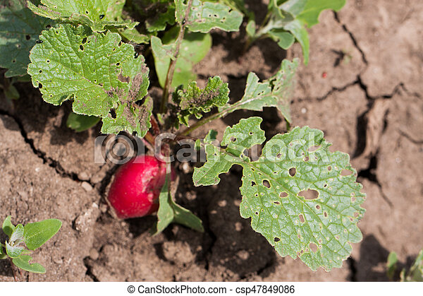 Radish growing in the garden with spoiled leaves - csp47849086