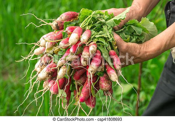 Radish in hand. Hands gardener. Work-worn hands. - csp41808693
