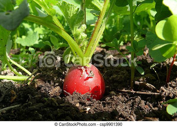 Radish in organic farming - csp9901390