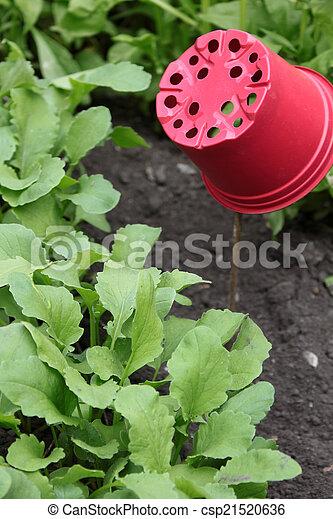 Radish Plants - csp21520636