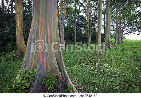 rainbow eucalyptus trees rainbow eucalyptus trees on the hawaiian