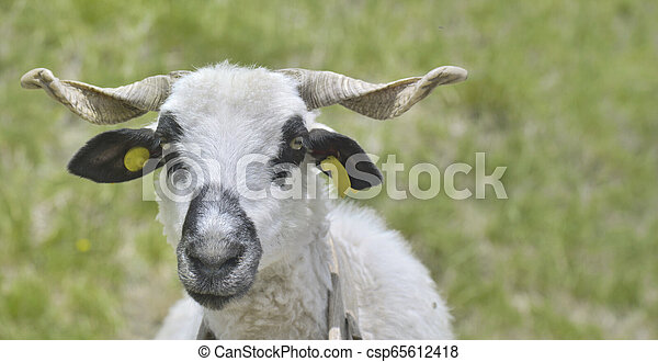 ram white and black with horns - csp65612418