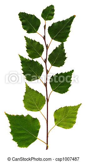 ramo, vidoeiro - csp1007487