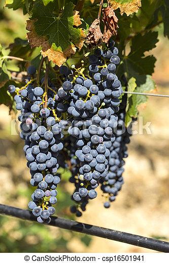 Montones de uvas - csp16501941