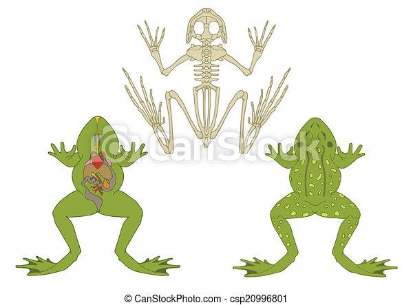 Rana. Anatomía, anfibio, sección transversal, esqueleto, zoología.