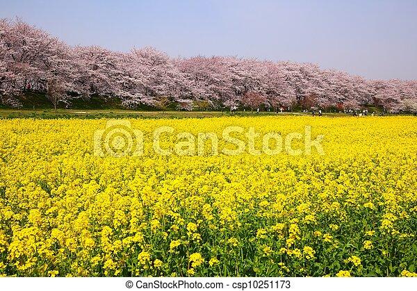 Rape blossoms and cherry tree - csp10251173