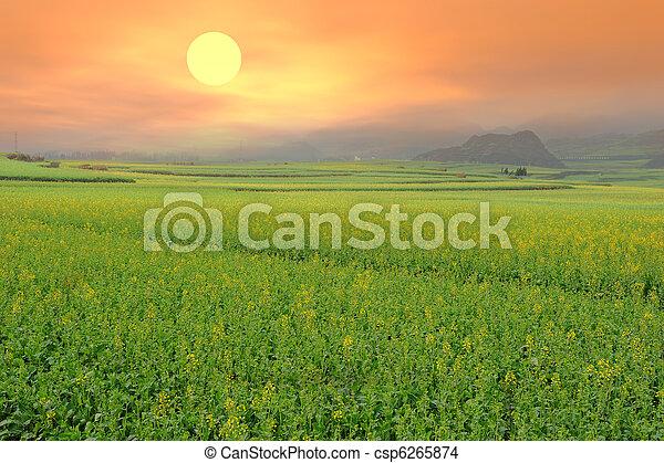 rape field in the springtime - csp6265874