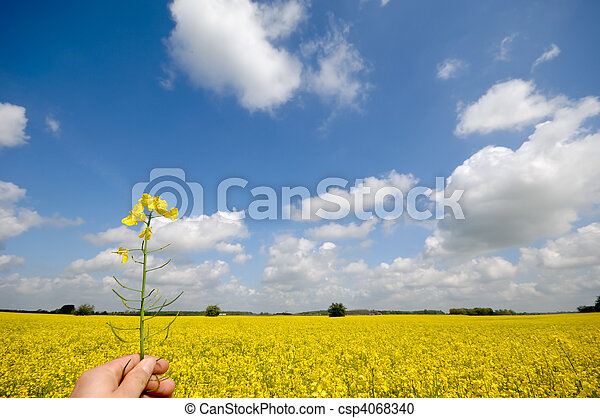 Rape flower in hand - csp4068340