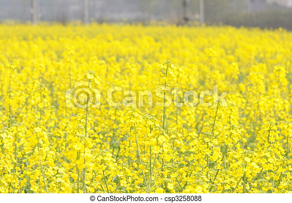rape flowers - csp3258088