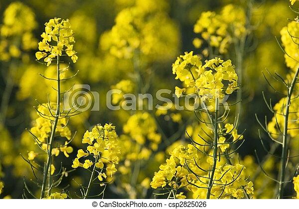 rape flowers - csp2825026
