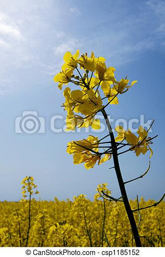 rape flowers - csp1185152