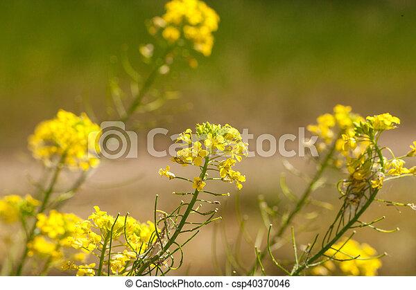 Rape flowers - csp40370046