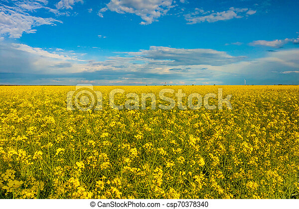 Raps field with blooming flowers in a beautiful sunny day. - csp70378340