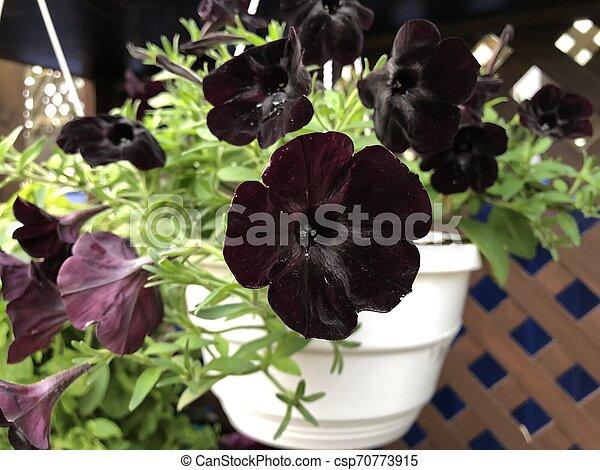 Rare Flower Variety Black Velvet Petunia In White Pot Rare Flower