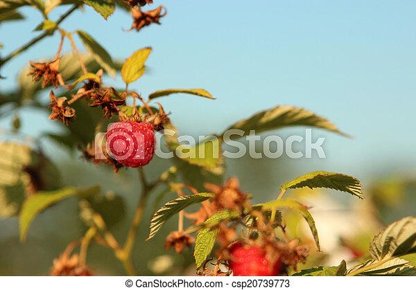 Raspberries in a garden - csp20739773