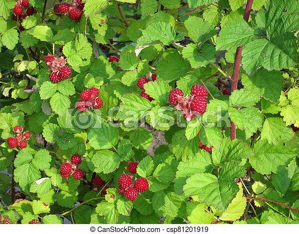 Raspberries in a garden - csp81201919