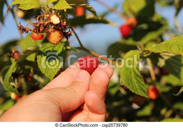 Raspberries in a garden - csp20739780
