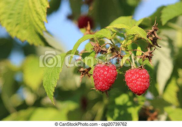 Raspberries in a garden - csp20739762