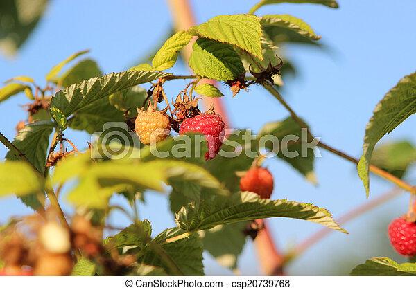 Raspberries in a garden - csp20739768