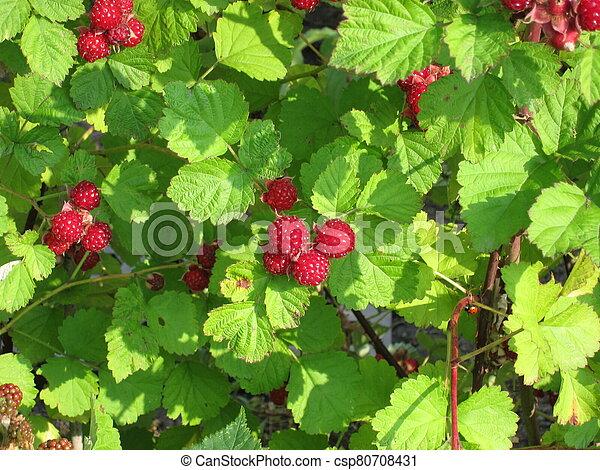 Raspberries in a garden - csp80708431
