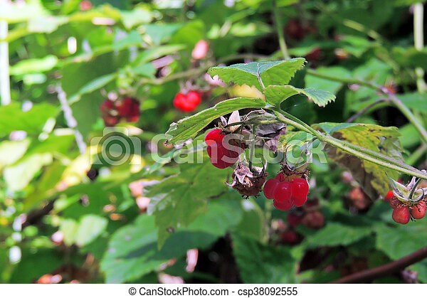 Raspberry in the garden - csp38092555