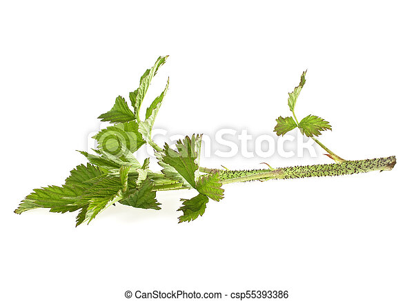 Raspberry leaf branch isolated on white background - csp55393386