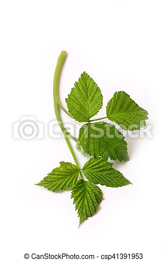 Raspberry leaf branch isolated on white background - csp41391953
