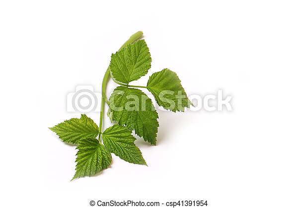 Raspberry leaf branch isolated on white background - csp41391954