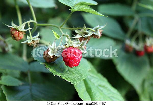 raspberry - csp3934457