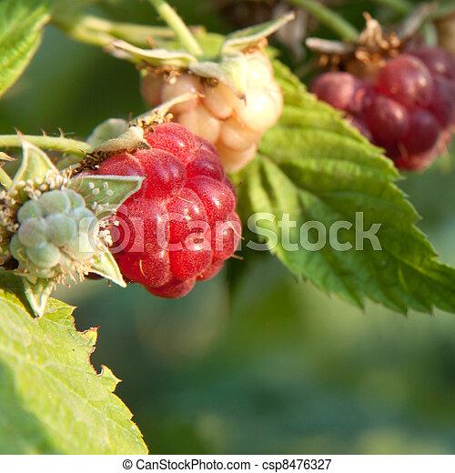 raspberry - csp8476327