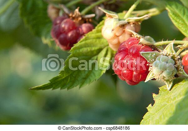 raspberry - csp6848186
